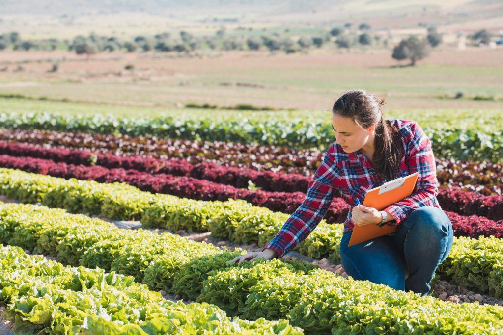 woman checking lettuce in field