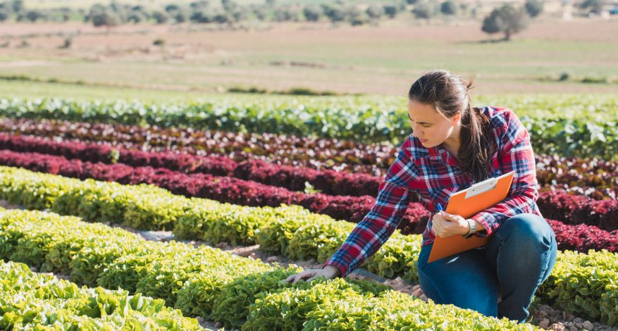 woman checking lettuce in field