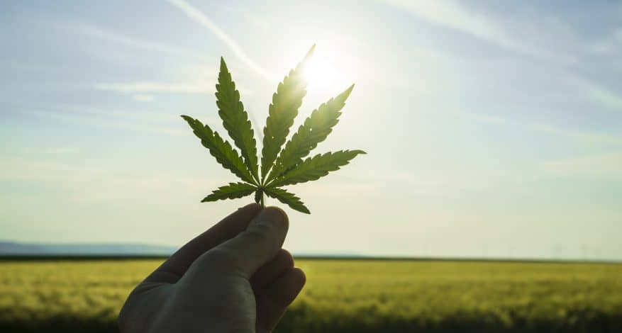 Green canabis on marihuana field farm