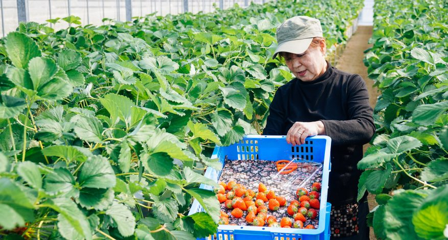 Female farmer collecting strawberries in a large basket at a strawberry farm.