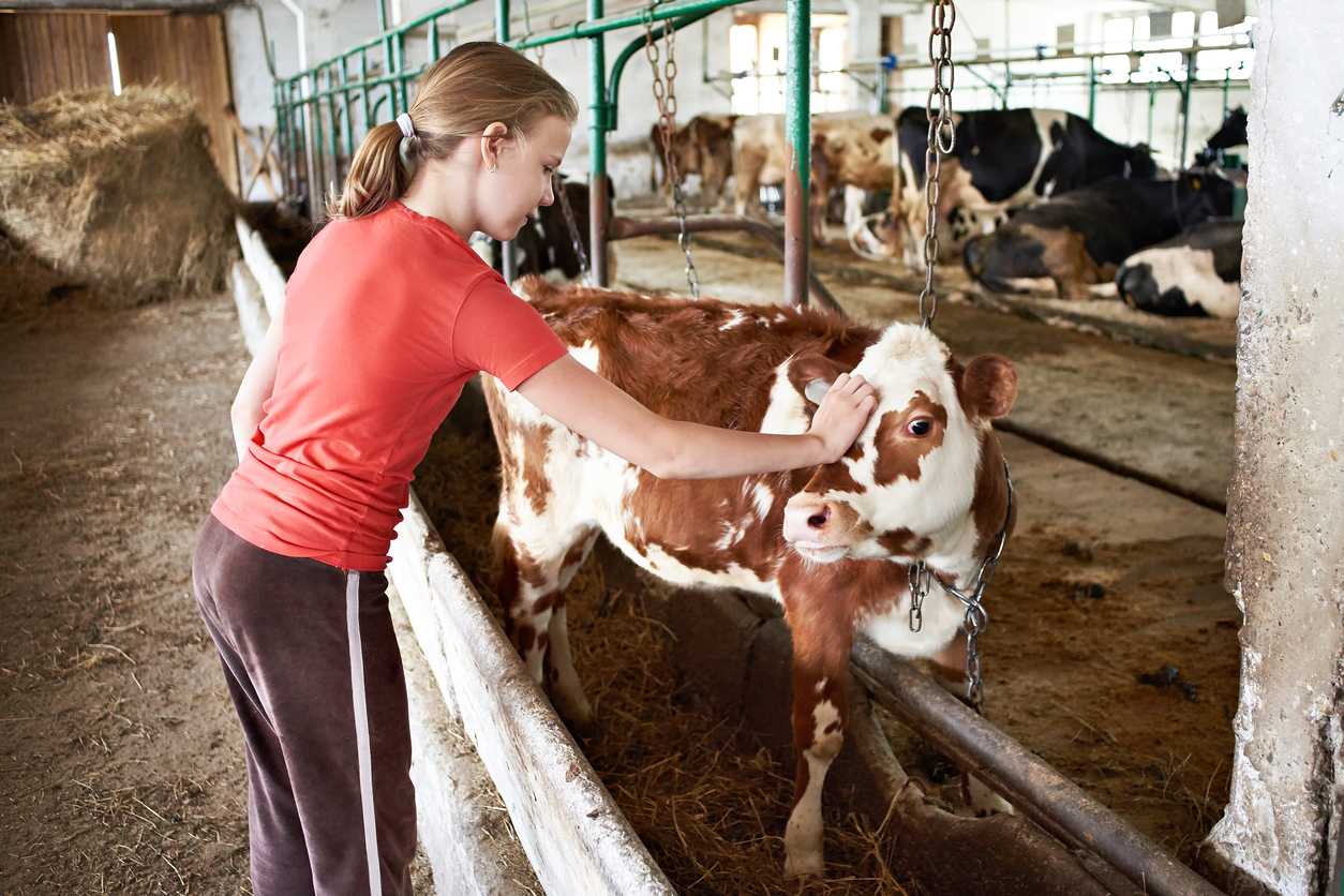 Girl stroking a calf on a dairy farm
